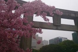 警固神社 桜
