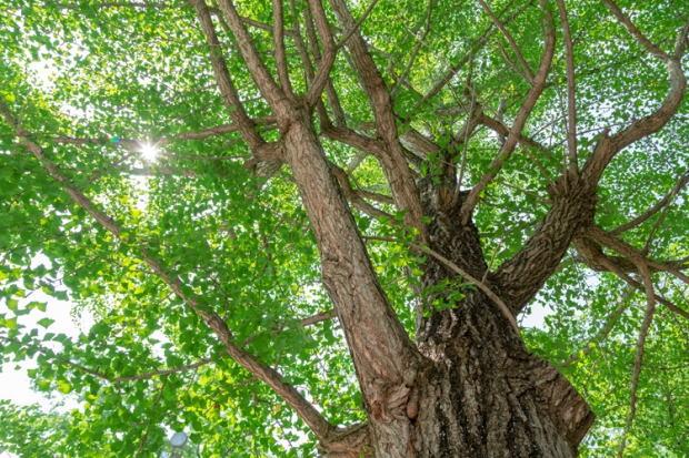 イチョウの木と太陽